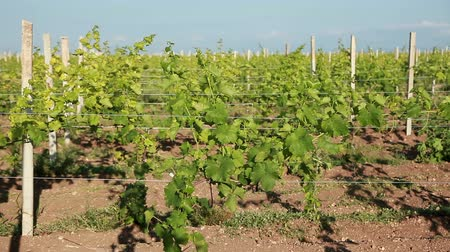 winnica : Trellis Of Young Vineyard