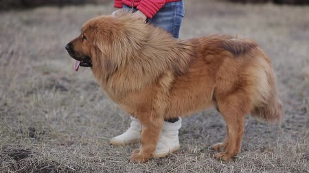 alsatian : Tibetan mastiff on walk with the owner