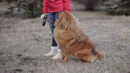 бдительный : Tibetan Mastiff sits on hind legs