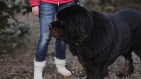 dog sitter : black Tibetan mastiff on walk with the owner in the autumn park