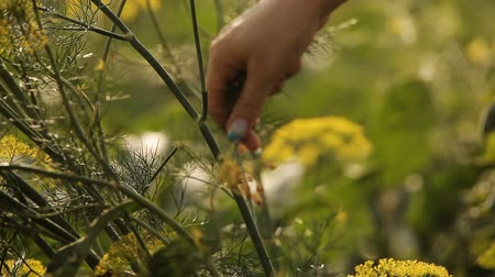 plucks : Hand farmer plucks dill from the garden