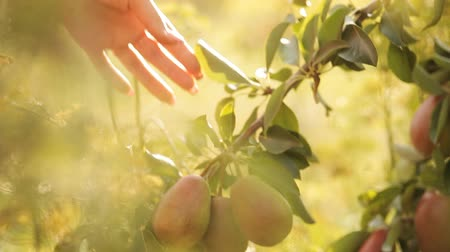 plucks : hand plucks juicy pear on a tree in the sunshine Stock Footage