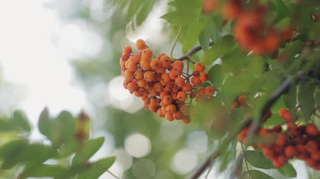 sorbus : Autumn red rowan berries