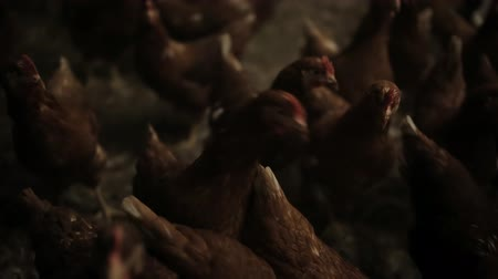 octopus : Chicken Farm, poultry production Stock Footage