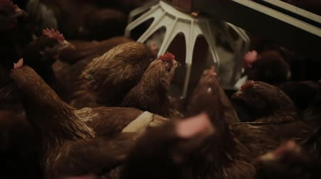 měkkýš : Chicken Farm, eggs and poultry production Dostupné videozáznamy