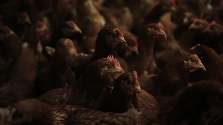 mollusks : Chicken Farm, eggs and poultry production Stock Footage