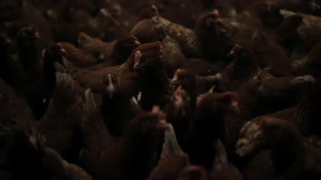 olasz konyha : Chicken Farm, eggs and poultry production Stock mozgókép