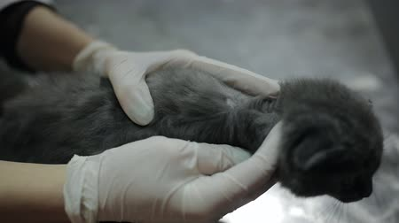 трепет : Woman veterinarian examines the area of ringworm in a kitten