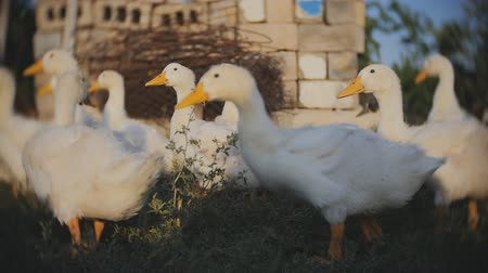 barnyard : A group of geese are running from the camera in Slow Motion. Stock Footage