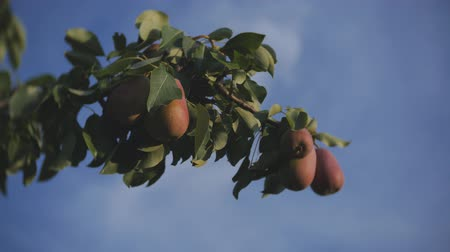 груша : Red and yellow pears on a branch of a pear tree on blue sky background Стоковые видеозаписи