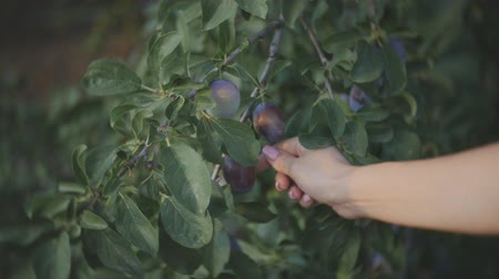 sustain : Close-up of girls hand to pluck the plums from the branch of a plum tree