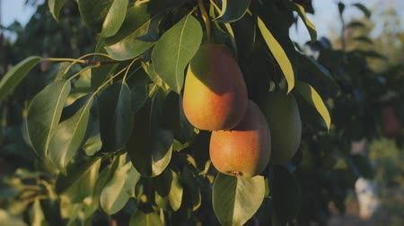 pears : Pear fruits hanging on a branch of a tree rulevogo Stock Footage