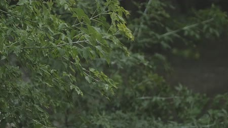 shaking wind : Heavy rain pours down on the leaves and branches of trees in slow motion. Stock Footage