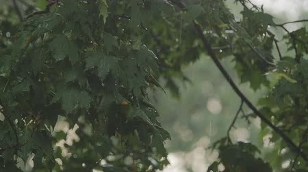 shaking wind : A strong wind shakes branches of trees, and heavy drops of rain falling on leaves, slo-mo capture