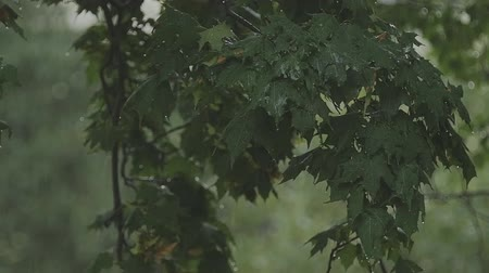 shaking wind : Rainy storm outside. Derevev branches sway in the wind in the rain in slow motion Stock Footage