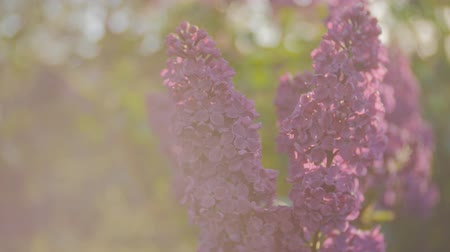 inflorescência : lilac blossom tree in the garden in the spring sunshine, branches of lilac swaying wind, blossoming garden in spring sunset Stock Footage