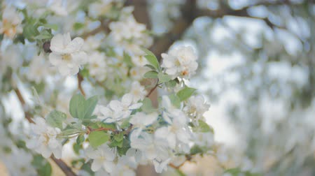 florescência : apple blossom, branches with white flowers, young leaves, blue sky. sunny day.