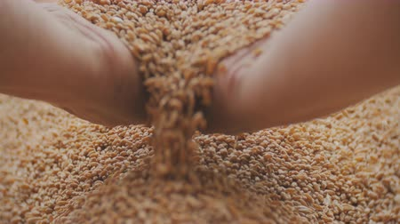 owies : close up shot of man hands holding wheat grain in warm light on a jute canvas Wideo