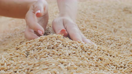 agrarian : female hand scoops and pours a grain of barley Stock Footage