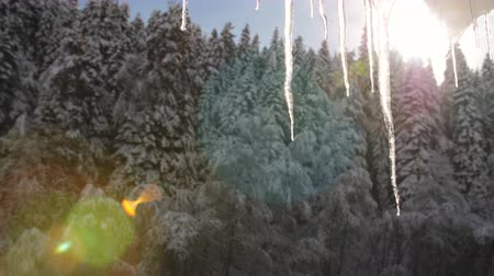 sincelo : Large icicle in the sunlight on the background of coniferous forest.