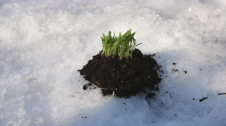 narciso : Green sprouts breaking through the snow in a Sunny clear day. Spring concept.