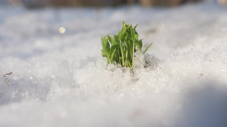 新芽 : Green shoots reaching up to the sun through the snow. Last days of winter.