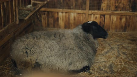 パドック : Sheep lying on the hay in the paddock. Sheep in the petting zoo for a visit.