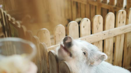 foltos : Spotted a girl feeding a pig a carrot at the petting zoo. The pig opens his mouth and reaches for the hand of the girl.