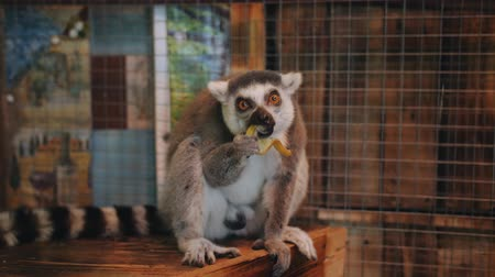 cativeiro : Lemur sitting on a plate in the petting zoo in the room and eating a banana.