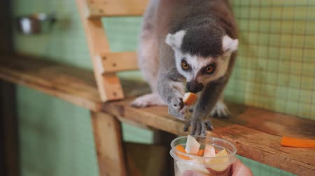 madagaskar : Lemur petting zoo selects vegetables from a Cup, which gives him the girl.