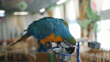 ara : A parrot petting zoo sitting on a piece of wood and eats from a bowl.