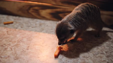 hapis : Meerkats in the zoo cage eating a carrot on the floor. Stok Video