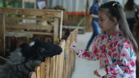 szermierka : Little girl feeds goat and sheep vegetables in a contact zoo or farm.