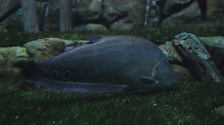 mergulhador : The big fish on the bottom of the aquarium