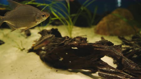 temperada : Fish swim near the big driftwood in the aquarium. Stock Footage
