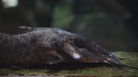 szczupak : Close-up of a big black fish lying on the bottom of the aquarium. Fish with black eyes and mustache on the bottom of the aquarium. Wideo