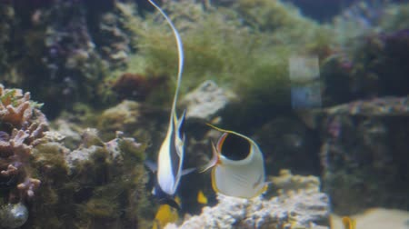 Флорес : A colorful Moorish idol fish swimming in a aquarium.