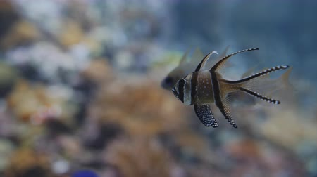 diurnal : Banggai Cardinalfish swimming with others in the background.