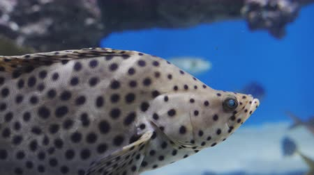 треска : Tropical fish Panther grouper - Cromileptus altivelis Стоковые видеозаписи