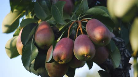 pereira : Many green-red fruits pears on a tree branch. A good year. Fruit pears grapes hanging on a pear tree.