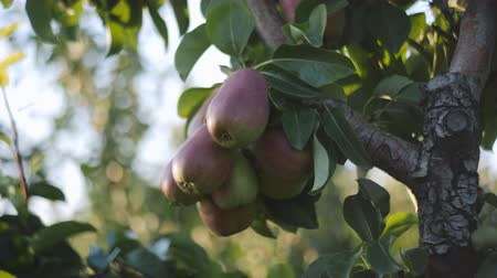 poire : Bunches of juicy ripe pear fruits hanging on a branch on a tree in the orchard at sunset.