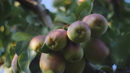 pereira : The time to harvest. Fruit trees. The fruit is juicy ripe pears on branch in the garden. Stock Footage
