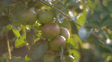 overvloed : Branches of Apple trees droop under the weight of ripe Apple fruits at sunset in rays of setting sun. Stockvideo