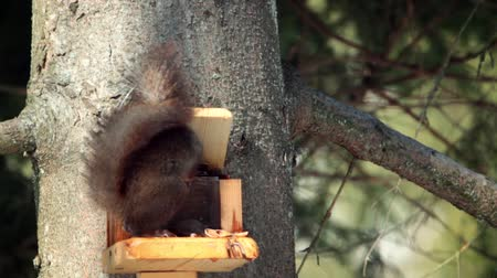 sciuridae : Red squirrel in Vosges, France - Specie Sciurus vulgaris family of Suidae Stock Footage