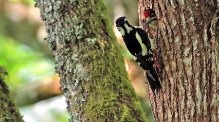 picidae : Great Spotted Woodpecker in Vosges, France - Specie Dendrocopos major family of Picidae