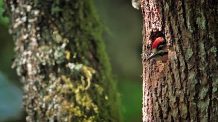 mevcut : Great Spotted Woodpecker in Vosges, France - Specie Dendrocopos major family of Picidae