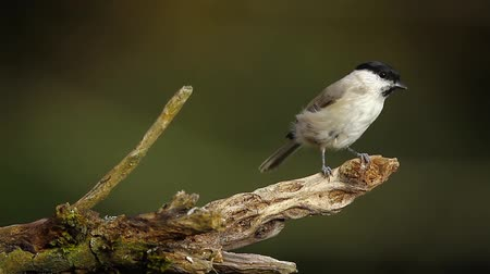 ave canora : Marsh Tit in Vosges, France - specie Parus palustris family of Paridae