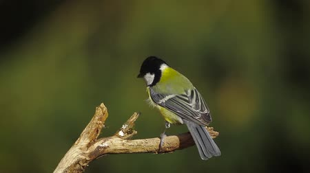 vosges : Great Tit in Vosges, France - Specie Parus major family of Paridae Stock Footage