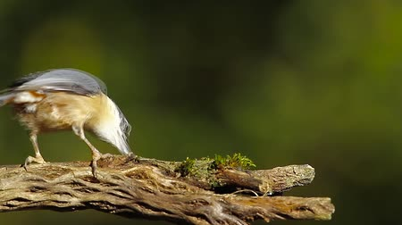 vosges : Wood Nuthatch in Vosges, France - Specie Sitta europaea family of Sittidae Stock Footage
