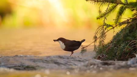 perçin : Common Dipper in Vosges, France - specie Cinclus Cinclus family of Cinclidae Stok Video
